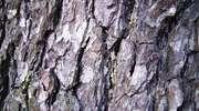 Korek zwany korą, czyli ochrona i ... linie papilarne drzew