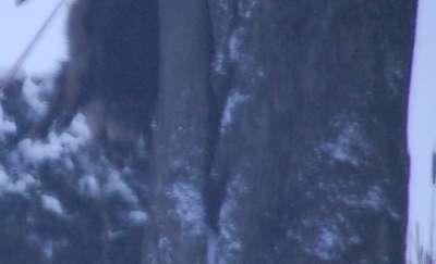 Myśliwy powiesił dzika na drzewie