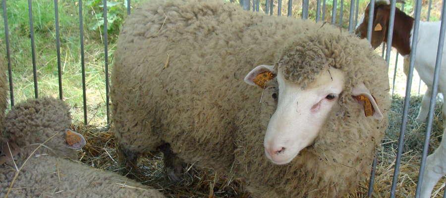 13-14 lutego po raz pierwszy w Expo Arenie w Ostródzie zobaczymy zwierzęta hodowlane, a wśród nich również owce