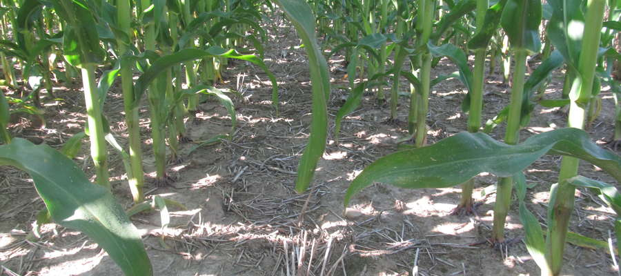 W uprawie pasowej bardzo dużą rolę odgrywa ściółka pokrywająca glebę, samo ściernisko pozostałe po przedplonie może nie być wystarczające