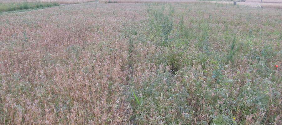 Ściółka (mulch) pozostająca na powierzchni pola w uprawie pasowej efektywnie zmniejszała zachwaszczenie. aróżnicę pomiędzy łubinem sianym po orce (z prawej) a uprawianym w technologii strip-till widać gołym okiem