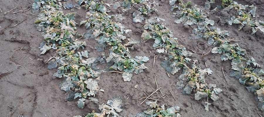 Jak na razie nie widać uszkodzeń stożka wzrostu i korzenia, dalszy przebieg zimy zdecyduje o jego stanie