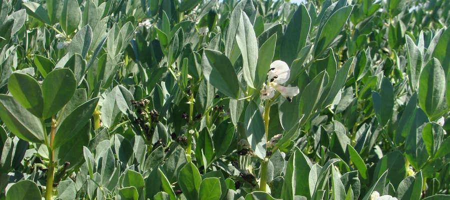 W Krajowym rejestrze znajduje się obecnie 9 odmian bobiku