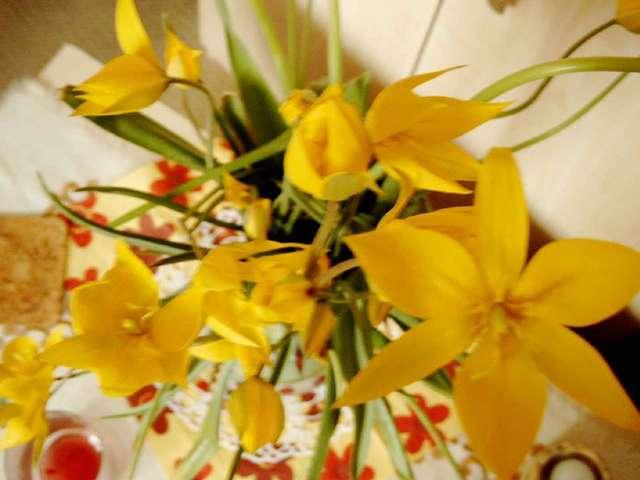 Czy ktoś widział na Warmii i Mazurach dzikie leśne tulipany?  - full image