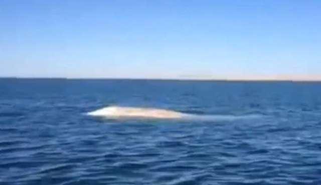 Rzadko spotykany biały wieloryb odwiedził wody Pacyfiku - full image
