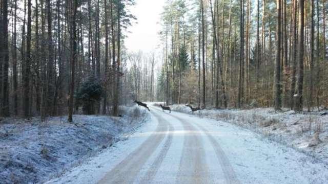 Leśnicy liczą zwierzęta - full image