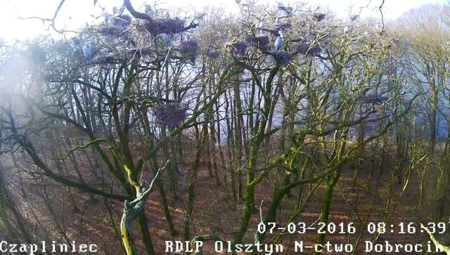Zajrzyj do gniazda czapli siwej dzięki kamerze online - full image