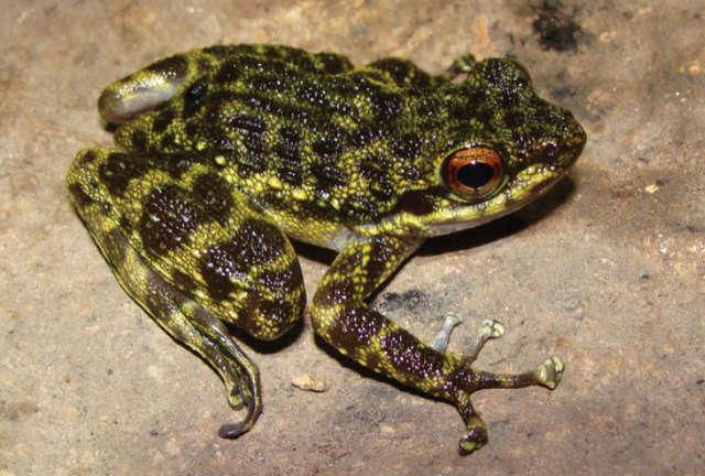 W brzuchu żaby znaleziono... żabę   - full image