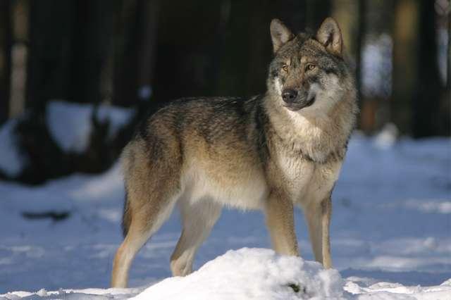 Dołącz do watahy i zawyj dla wilka. - full image
