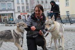 Zawyli dla wilka na starówce w Olsztynie [FILM I ZDJĘCIA]