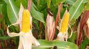Kukurydza w badaniach PDO w województwie warmińsko-mazurskim