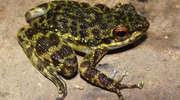 W brzuchu żaby znaleziono... żabę