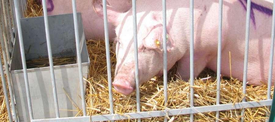 Ponad 120 mln złotych przeznaczone zostało na pomoc dla producentów trzody chlewnej