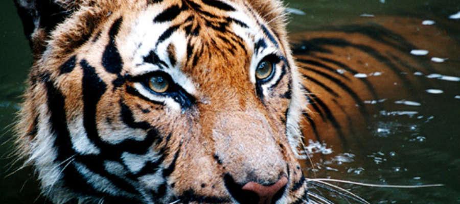 Na szczęście ZOO jest jedynym miejscem, w którym możemy być pewni, że spotkamy tygrysa...