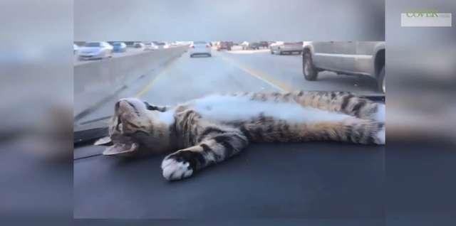 Te koty uwielbiają podróżowanie autem - full image
