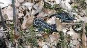 W lasach można już spotkać żmije zygzakowate
