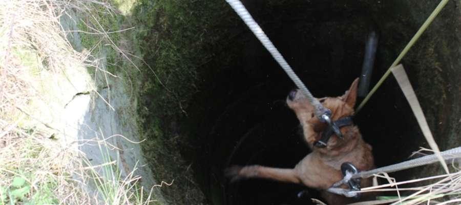 Zwierzę wpadło do niezabezpieczonej studni, w której na szczęście nie było wody.