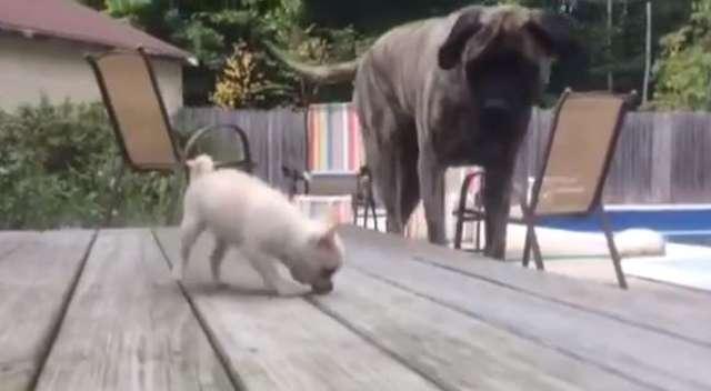 Jeden z największych psów świata kontra ten najmniejszy - full image