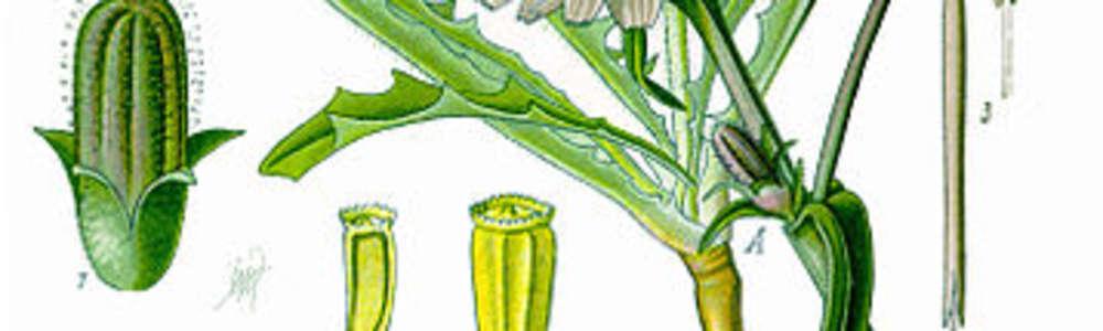 Światowy Dzień Fascynujących Roślin: cykoria co urody doda