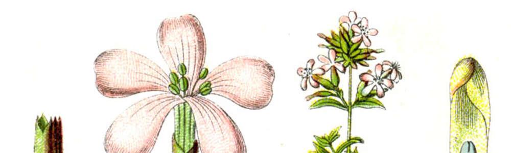 Światowy Dzień Fascynujących Roślin: na ból zębów - mydlnica