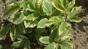 Światowy Dzień Fascynujących Roślin: podagrycznik pospolity, co podagrę leczy