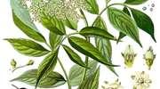 Światowy Dzień Fascynujących Roślin: Bez czarny - recepta na zdrowie