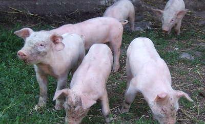 Świnie w Parku Krajobrazowym?