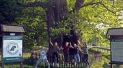 Dąb Bażyńskiego z Kadyn walczy o tytuł Drzewa Roku