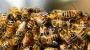 Pestycydy — wspólne cierpienie człowieka i pszczoły