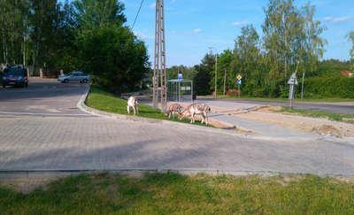 Kozy na wolności błąkały się po olsztyńskich Redykajnach