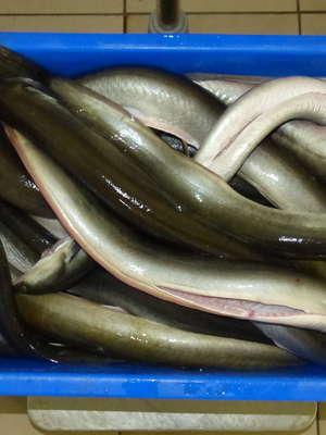Świeża rybka z naszych jezior, a na deser wędzony węgorz lub jesiotr