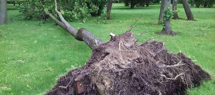 """Sobotni ranek 18 czerwca. Drzewo powalone na tzw. Kortach"""""""