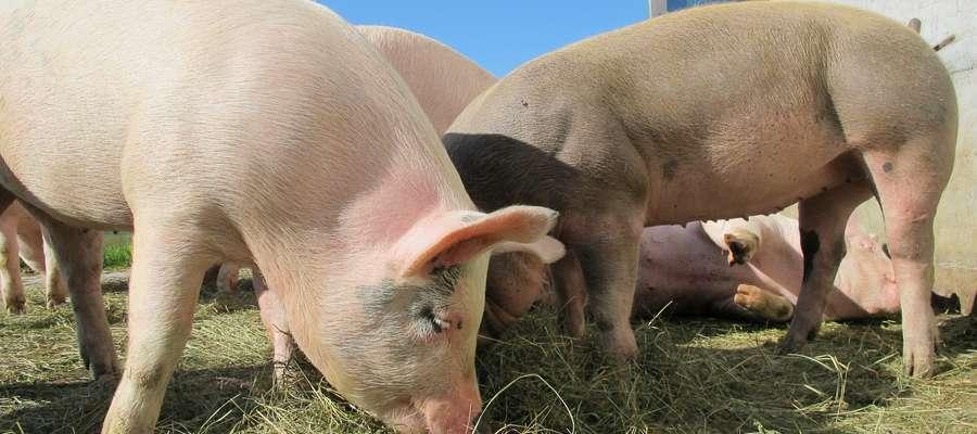 Rekompensaty przysługują za czasowe (2 lata) zaprzestanie produkcji świń w związku z niespełnianiem wymogów rozporządzenia