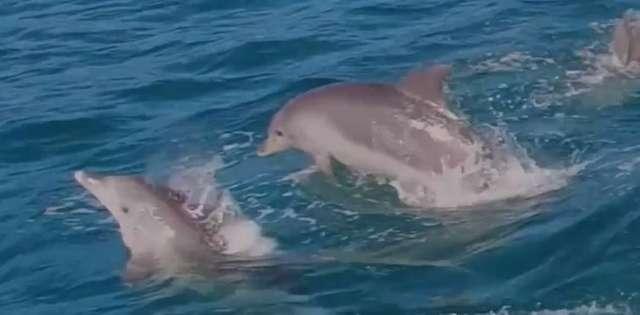Stado delfinów u wybrzeży Australii - full image