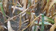 Ochrona chemiczna kukurydzy