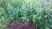 Hodowla marihuany 25-latka z Pasłęka