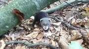 Te zwierzaki wcale nie są tchórzliwe. Spotkane w lesie mogą dać popalić [FILM]