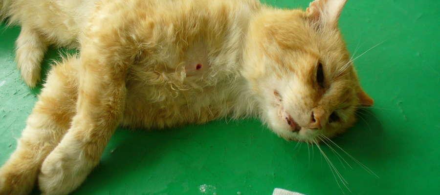 Jeden ze zranionych kotów na stole u weterynarza