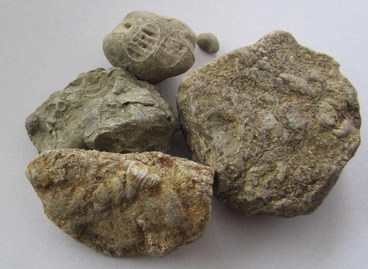 Z eratyków można wyczytać prehistorię Mazur. Na zdjęciu: skamieniałe szczątki pradawnych organizmów - full image