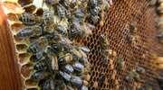 Amator miodu ukradł sąsiadowi ul z pszczołami