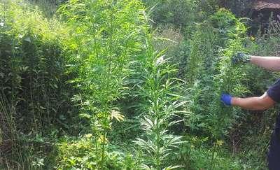 Posadził sąsiadowi marihuanę w ogródku. 71-latek musiał się tłumaczyć policji