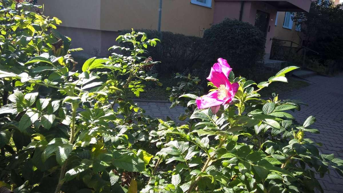 Jaka róża taki kwiat, czyli rzecz o imigrantach - full image