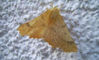 Nocny motyl, czyli futro przeciw nietoperzom