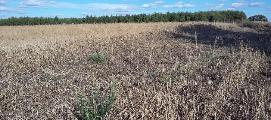 Wielu rolników spodziewało się, że po tak mokrych i ciężkich żniwach niewiele będzie zbóż konsumpcyjnych o dobrych parametrach