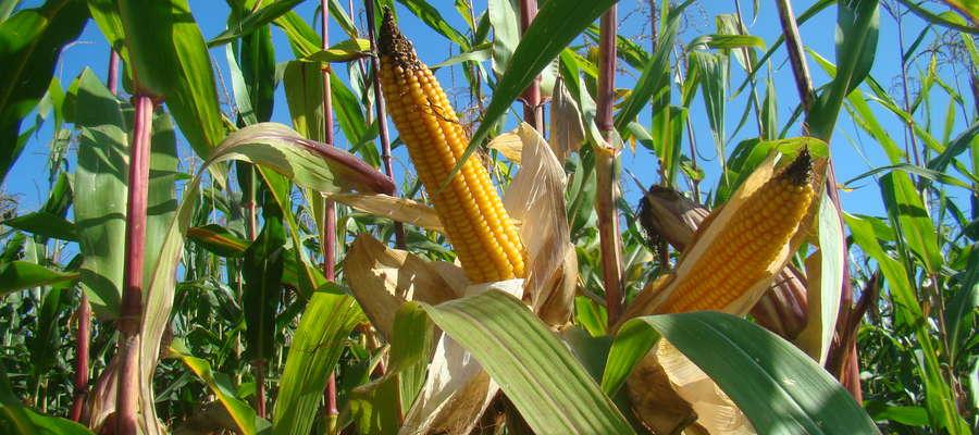 Rolnicy zgodnie podkreślają, że po tym sezonie z pewnością kiszonki z  kukurydzy wystarczy do kolejnych zbiorów