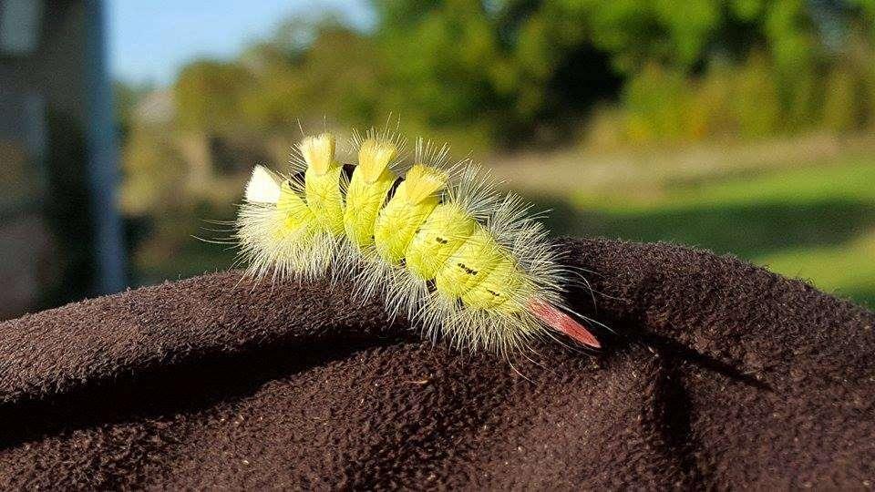 Szczotecznica szarawka czyli o włochatym pięknie z lasu - full image