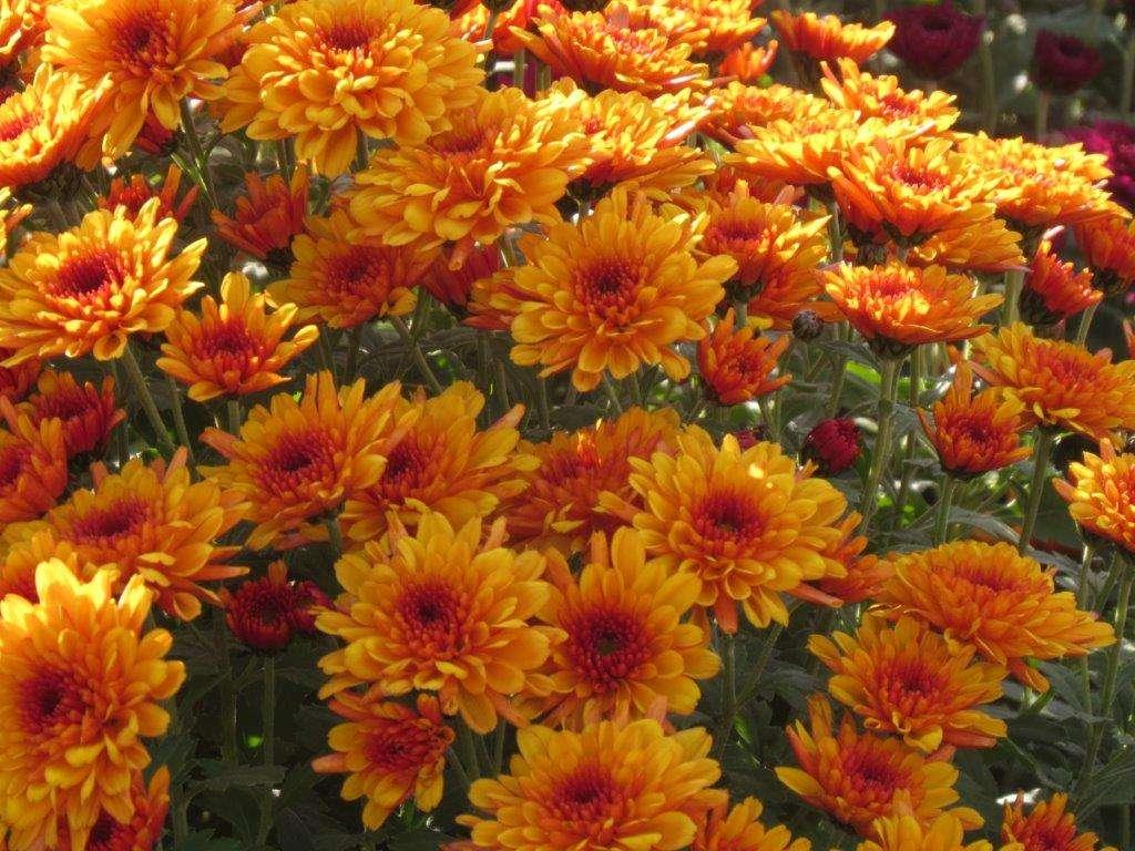 Chryzantemy - kwiaty jesieni - full image