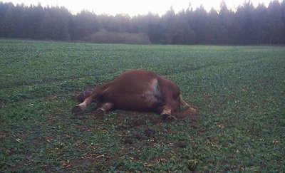 Koń padł po kolizji z samochodem. Potem mogły się pojawić przy nim wilki