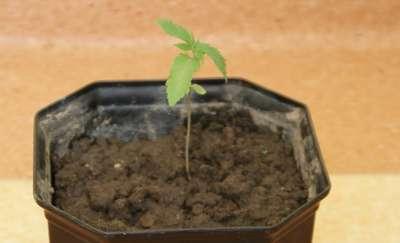 Za jeden krzew konopi może posiedzieć 3 lata
