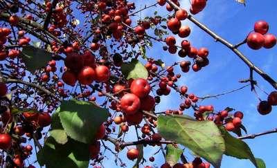 Rajskie jabłuszka na mazurskich drzewach